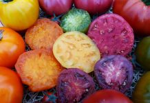 Томаты серии «Сахар» от агрофирмы СеДеК