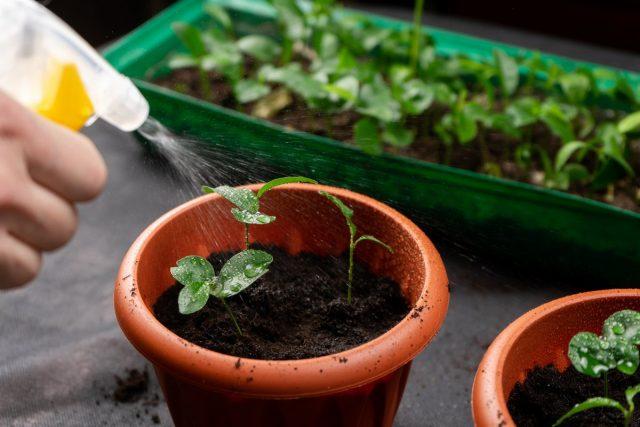 Как правильно поливать рассаду?
