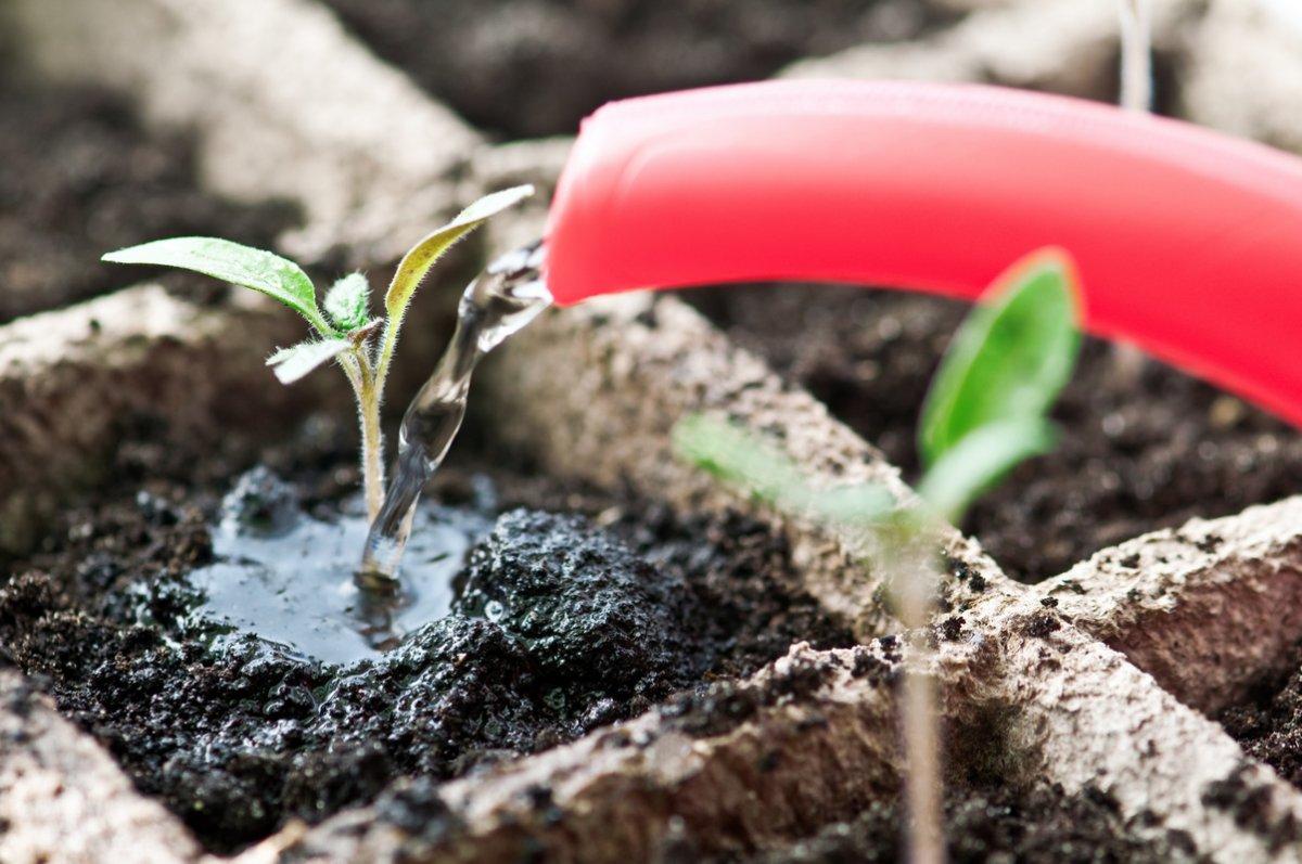 Как правильно поливать рассаду? Обильность, частота поливов. Фото —  Ботаничка.ru