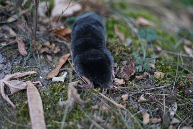 Крот охотится на личинок, медведок и прочих вредителей