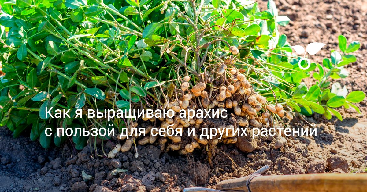 Актуальная информация как вырастить арахис на огороде