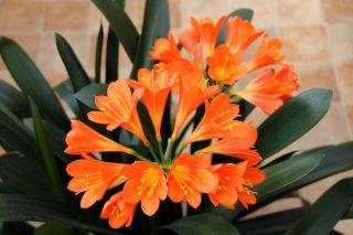 Кливия киноварная, или Кливия оранжевая (Clivia miniata)