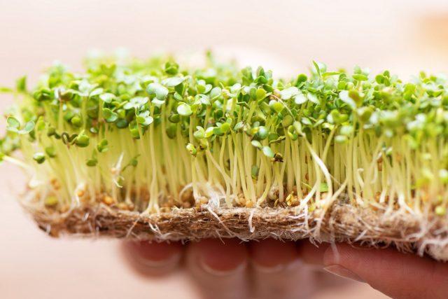 Микрозелень в домашних условиях проращивают не только в воде, но и на марле и вате, льняных тканях или мешковине, в вермикулите, перлите и др.