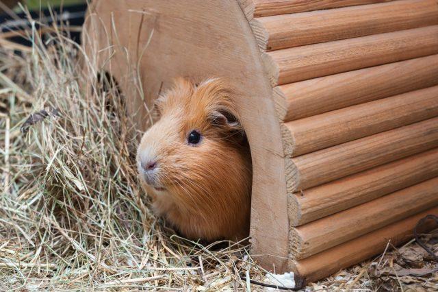 В вольере обязательно должен быть домик, чтобы свинки могли погреться