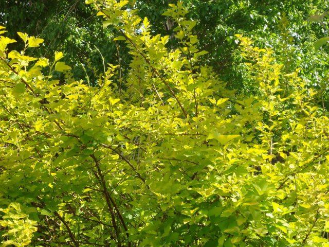 Пузыреплодник калинолистный (Physocarpus opulifolius) 'Nugget'