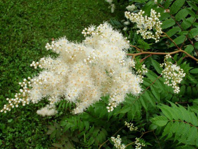 Рябинник рябинолистный (Sorbaria sorbifolia)