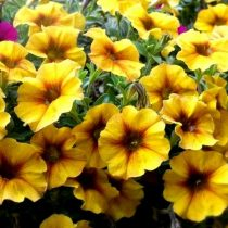 Петхоа 'BeautiCal Caramel Yellow' («Карамельно-желтый»)