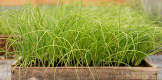 Рассада лука-порея — от посева семян до высадки в грунт