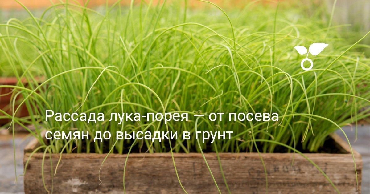 Лук порей: когда сажать, выращивание в открытом грунте, как правильно посадить