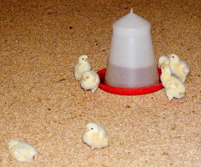 Необходимо, чтобы у цыплят всегда была в наличии свежая вода