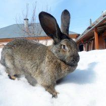 Кролик «Серый великан»