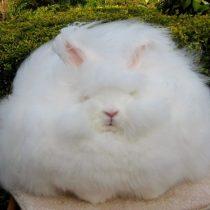 Кролик «Гигантский ангорский»