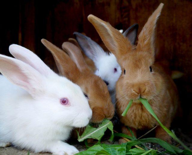 Летом основу рациона кроликов составляет трава