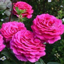Чайно-гибридная роза «Биг Пёрпл»