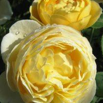 Чайно-гибридная роза «Шарлотта»