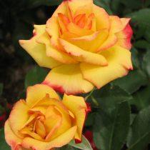 Роза флорибунда «Чарльстон»