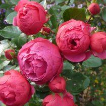 Роза флорибунда «Помпонелла»