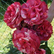 Плетистая роза «Брауни»