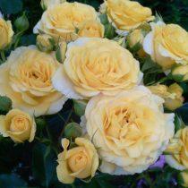 Спрей роза «Макарено»
