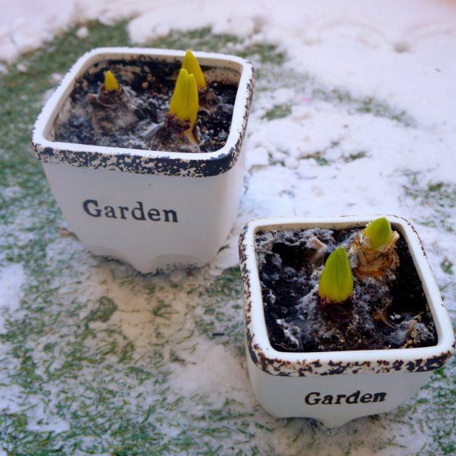 Гиацинты (Hyacinthus) лучше заносить в тепло, когда луковицы будут иметь «носики» не менее 3-4 сантиметров