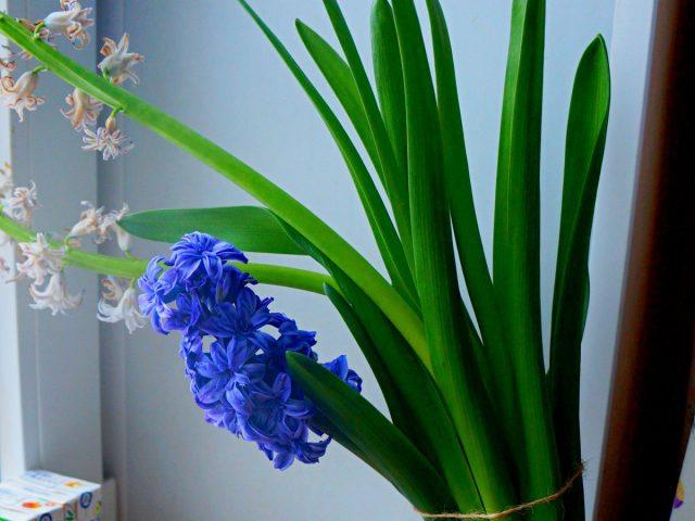 При выгонке гиацинтов нередко их цветоносы вырастают слишком длинными, наклоняются под тяжестью соцветий и требуют подвязки