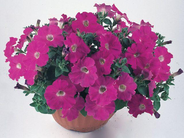 Петуния (Petunia) «Нуволари»