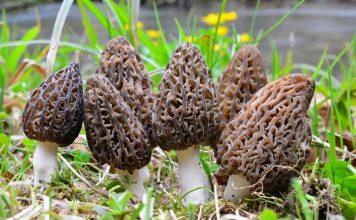 5 весенних грибов — знакомых и не очень