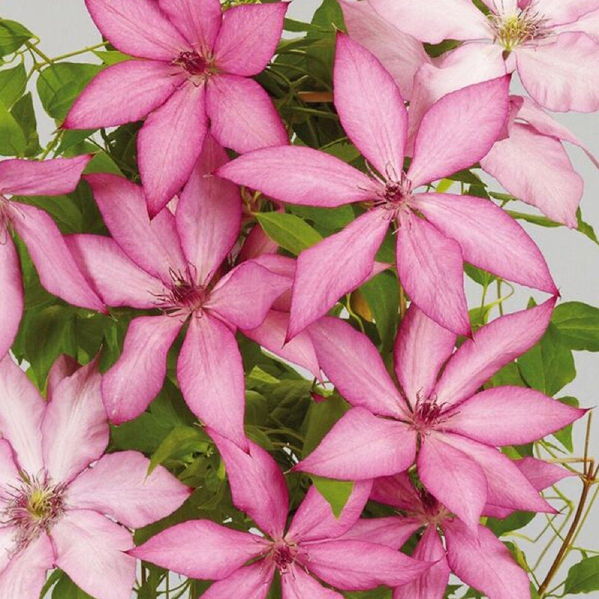 Clematis-Giselle-2