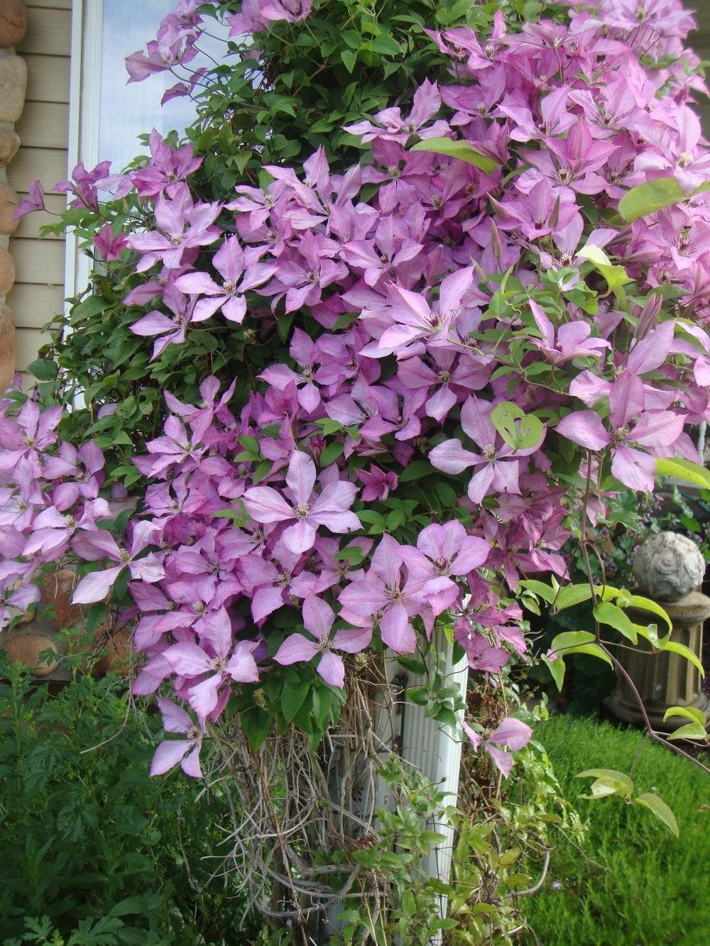 Clematis-Giselle-3