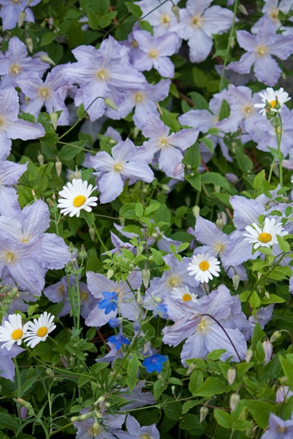 Clematis-viticella-Blue-Angel-2