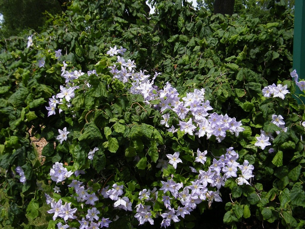 Clematis-viticella-Blue-Angel-3