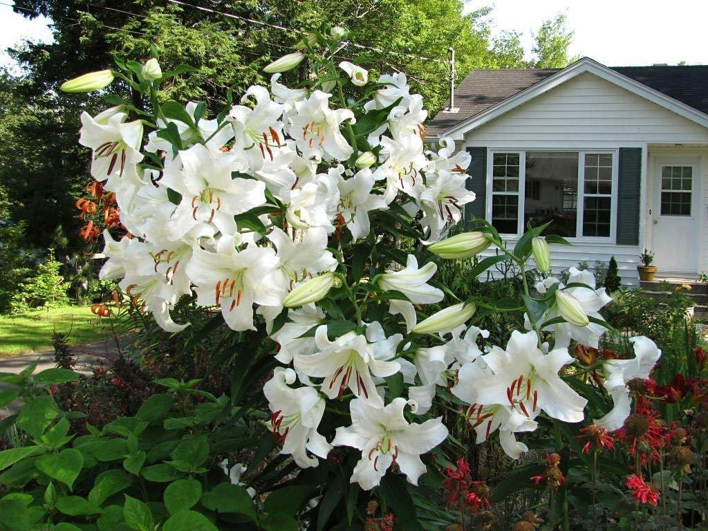 Lilium-orientalis-Casa-Blanca-2