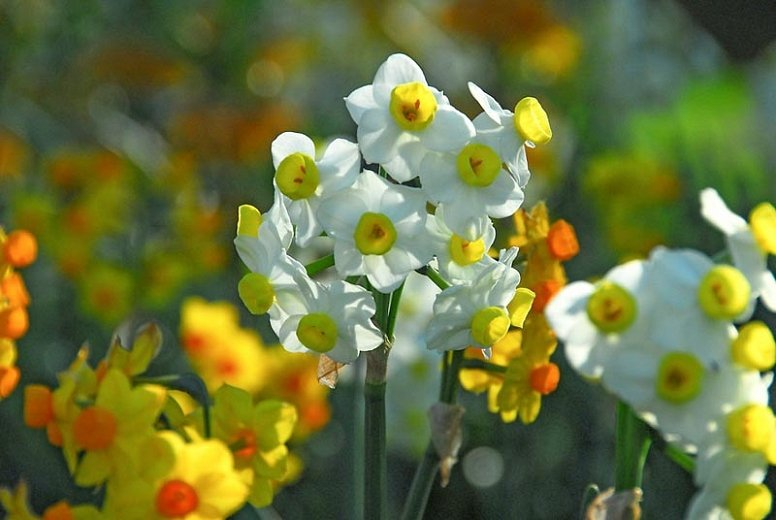 Narcissus-Avalanche-2