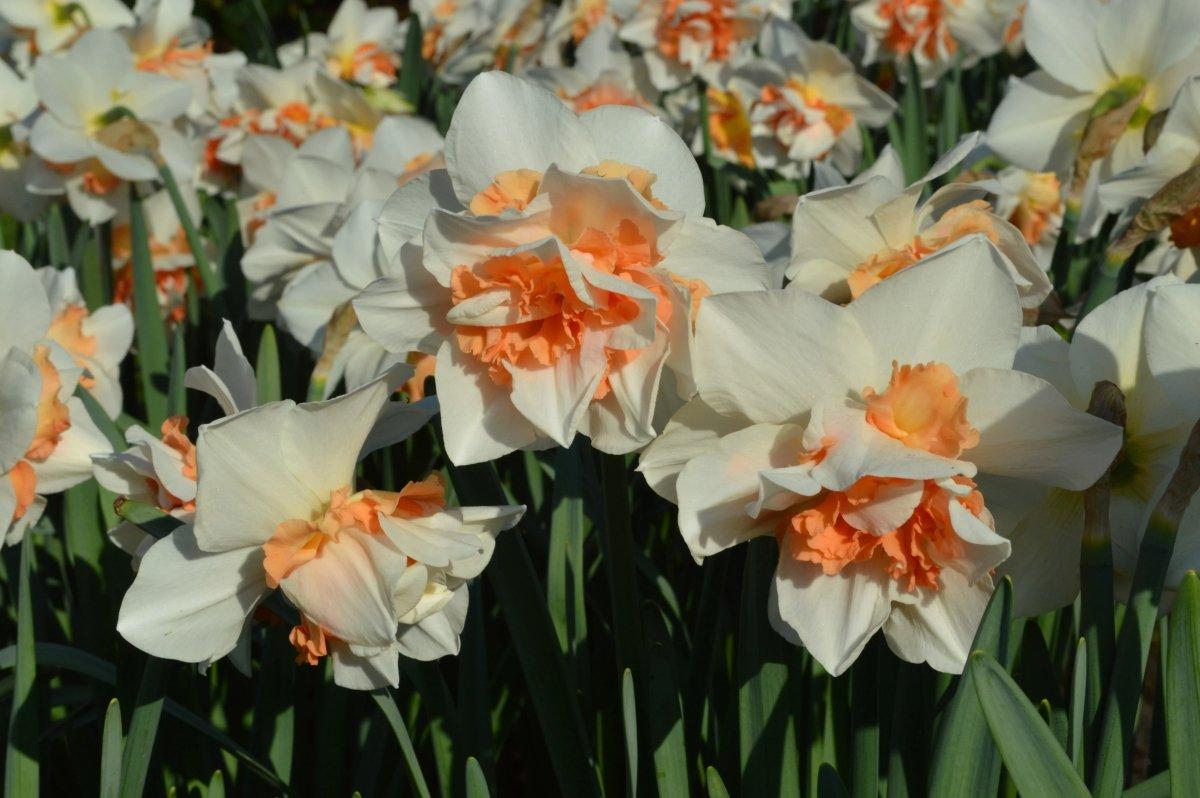 Narcissus-Replete-1