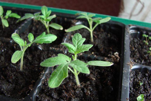 Важно правильно выбрать сорт или гибрид томата для выращивания