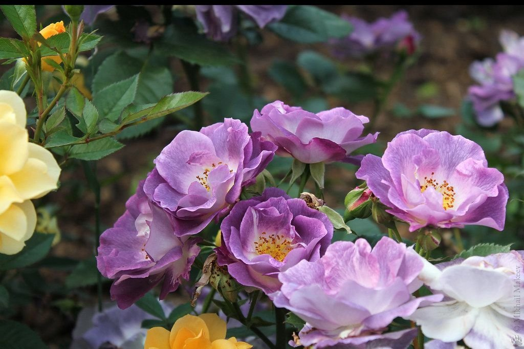 Rosa-Blue-For-You-1