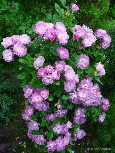 Rosa-Blue-For-You-2