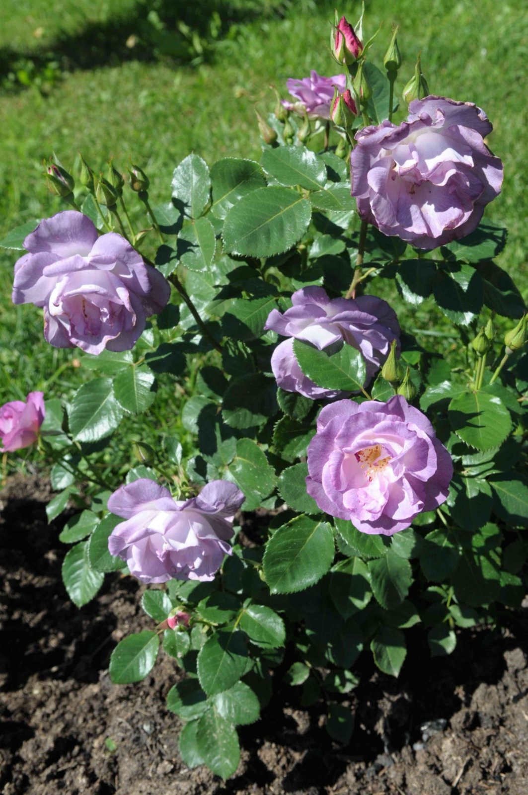 Rosa-Blue-For-You-3