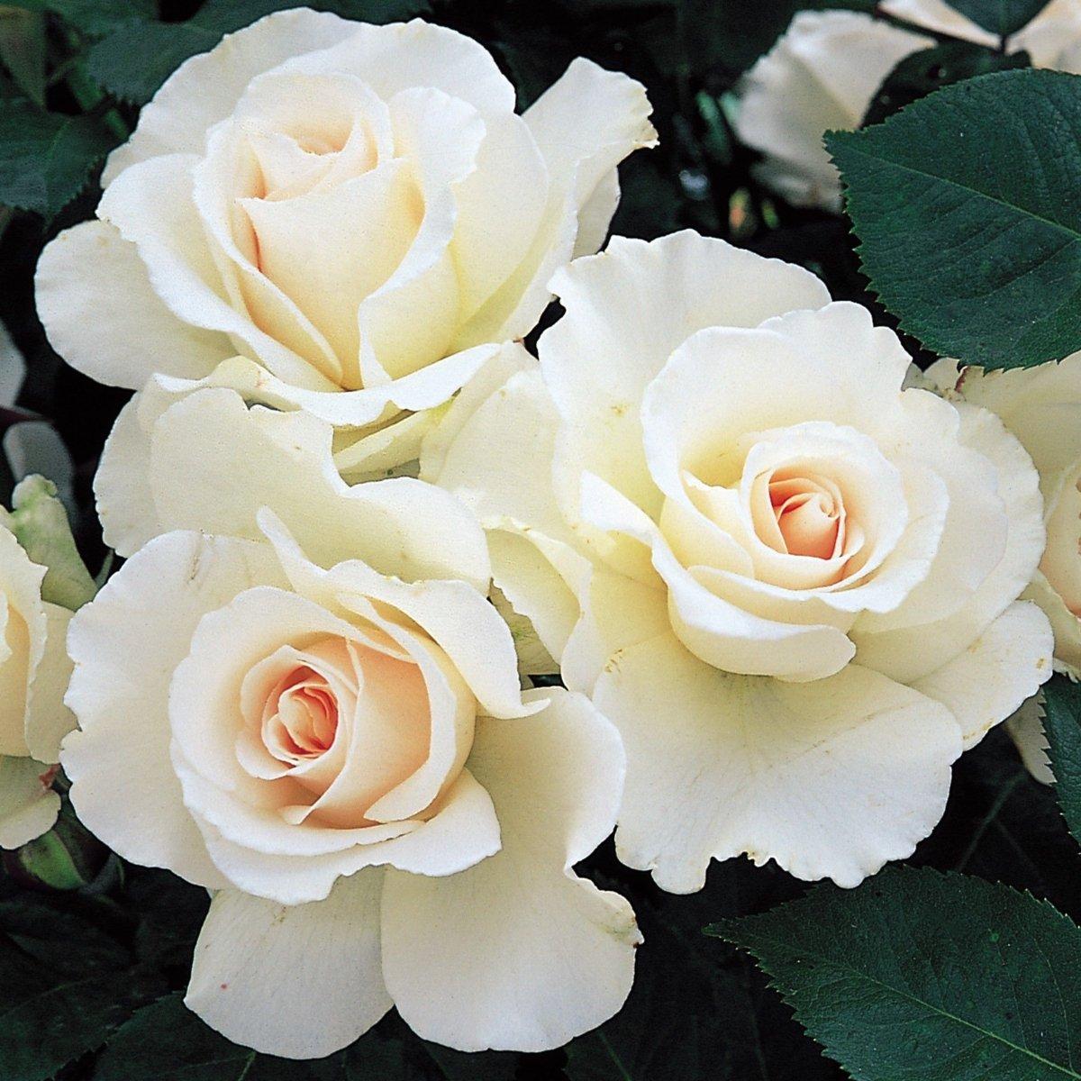 Rosa-Margaret-Merril-1_result