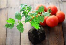 Выращивание томатов — занятие захватывающее и увлекательное