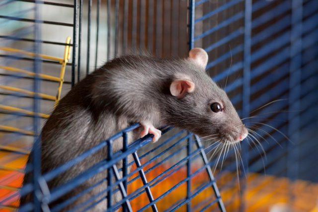 Декоративная крыса — плюсы и минусы содержания