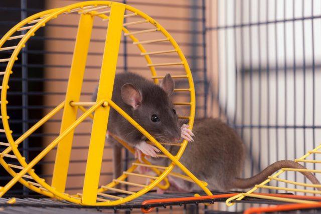 Декоративные крысы очень активно играют, если обеспечить им множество развлечений в клетке