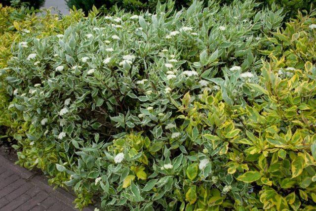 Дёрен белый (Cornus alba) 'Sibirica Variegata' по центру и дёрен 'Aurea Elegantissima' по бокам
