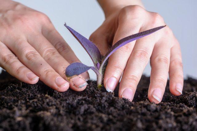 Сеткрезию пересаживают ежегодно или заменяют старое растение при потере декоративности