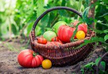 Идеальный сорт томата — как найти?