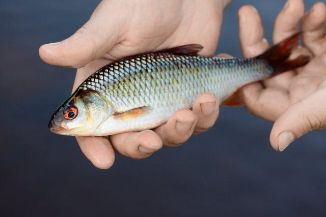 Если вы ловили сетью, крупную рыбу использовали, но осталась мелкая, запустите её в свой пруд для разведения