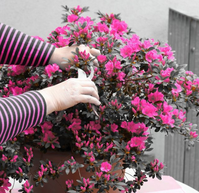 Комнатная азалия, или Рододендрон — секреты ухода