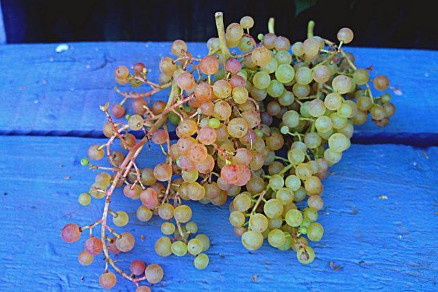 «Коринка русская» — мой любимый виноград