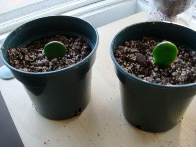 При классическом укоренении в почве черенки погружают срезом вниз, устанавливая вертикально или под легким наклоном