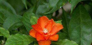 Переския — цветущий лиственный кактус